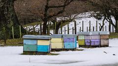 Bees 4 (NOL LUV DI) Tags: snow napier hawkesbay