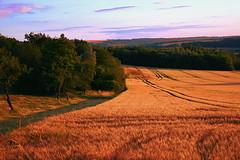 Champ de crales  Dieulouard (denis.fleurot) Tags: crales coucherdesoleil couleurchaude ocre champdecrales sunset lorraine meurtheetmoselle dieulouard nature culture agriculture wow orge