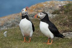 Atlantic Puffins (NicoleW0000) Tags: canada bird newfoundland atlantic puffin aquatic auk