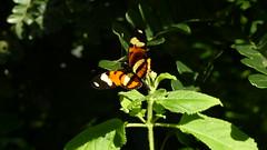 helliconius ethilla narcaea (Helio Lourencini) Tags: helliconiusethillanarcaea inseto borboleta butterfly natureza nature wild wildlife campo field selvagem paudalho mataatlantica pernambuco animal