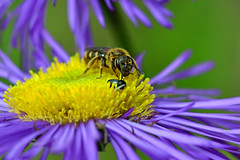 Life on the Fleabane (AndyorDij) Tags: bee beetle fleabane erigeron gardens plants flowers empingham england rutland uk unitedkingdom 2016 summer twofer