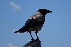 Hooded Crow (alex_7719) Tags: animal bird crow hoodedcrow bulgaria nessebar nesebur nesebar      corvuscornix