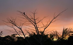 currawong sunset (dustaway) Tags: winter sunset tree silhouette overcast australia nsw currawong lismore northernrivers sunlitclouds
