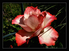 Rosenliebhaber (karin_b1966) Tags: plant flower nature garden blossom natur pflanze blume blte garten 2016 yourbestoftoday roseosiris