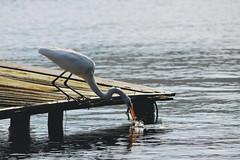 Lunch time (Billy W Martins ) Tags: bird pssaro lagoadaconceio florianpolis floripa nikon d7100 fish fisher fisherbird pesca pescador catch agarrar lake lagoon inverno winter