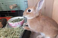 Ichigo san 247 ICHIGO san  (mensore) Tags: brown bunny cute family ichigo netherland dwarf netherlanddwarf pet rabbit