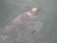 Foca (hatorbu) Tags: animales animals foca seal aquarium acuario aquariumfinisterrae acorua vdeo video