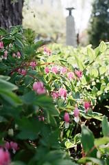 Pink Flowers (Rachael.Robinson) Tags: boston urban