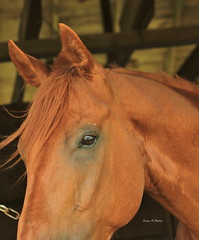 Cherokee'smoonbeam (susanmbarlow) Tags: photograph delaware delawarepark horse backside cherokeesmoonbeam thoroughbred racehorse equus equusferuscaballus equine equidae delparkracing equinephotography thoroughbredracing horseracing