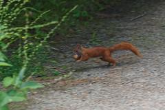 Eichhrnchen rennt - running squirrel (Veit Schagow) Tags: squirrel running run eichhrnchen walnuss walnut scoiattolo noce