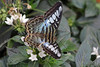 25. The Clipper (Parthenos sylvia), S. Asia), Butterfly Exhibition, Natural History Museum, London (Jay Ramji's Travels) Tags: lepidoptera butterflyexhibition naturalhistorymuseum southkensington london theclipper parthenossylvia southeastasianbutterfly nymphalidae brushfootedbutterfly
