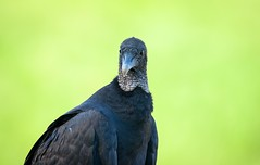 Portrait of a Vulture, Pt. 2 (cwhitted) Tags: moncure chathamcounty blackvulture vulture jordanlakedam beverettjordanlakeanddam hawriver canon canoneos400d canoneosdigitalrebelxti sigma sigma150600mmcontemporary sigma150600mmf563dgoshsmcontemporary sigma150600mm sigma150600mmf563dgoshsmc eos