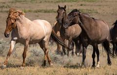 All is not sweetness (031546) Tags: mustang wildhorses southdakota