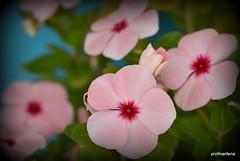 DSC_0225 thinkpink Vinca (profmarilena) Tags: vinca macro closeup thinkpink pink summerflowers