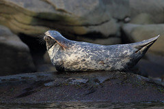 Phoques gris - Grey seal (Maxime Legare-Vezina) Tags: mammals mammifere marine nautre wild wildlife animal fauna biodiversity canon sea