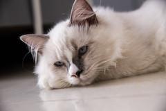 CANON_20160821-20 (Snowy Olaf) Tags: kitten britishlonghair       feliscatus  canon 5dmarkiii tamron 2470mm f28 a007