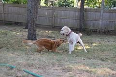 DSC_0263 (ghoulia) Tags: goldendoodle goldenretriever poodle labradoodle labrador rovercom dogvacay