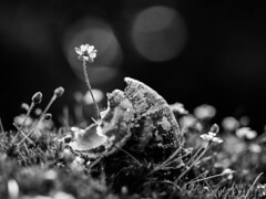 Eaten out of house and home. (von8itchfisk) Tags: death dead snail lunch home house eaten flower macro nature outside blackandwhite monochrome silver mygarden myhome myhouse bokeh battisford vonbitchfisk