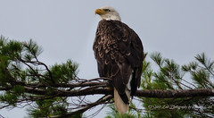 Ever Watchful (1 of 1) (amndcook) Tags: marquette michigan outdoors baldeagle bird birdofprey nature pine upperpeninsula wildlife