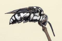 Domino cuckoo bee (Tribe: Melectini) (arian.suresh) Tags: 750d2016img7500 ariansuresh saravanastreettnagar chennai tamilnadu india bee cuckoobee dominocuckoobee animalia arthropoda hexapoda insecta pterygota neoptera hymenopterida hymenoptera apocrita apoidea apidae apinae melectini thyreus