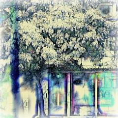 the wisteria secret in Camden Town - EXPLORE (eepeirson - icon=StCatherineOfSiena@VaticanCity) Tags: camdentown london england wisteria txeeptopazpicmonkey