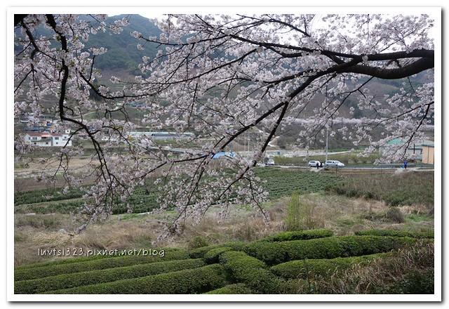 화개십리벚꽃길15