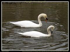 ND8_13587 (charlesvanlangeveld) Tags: swan zoetermeer witte zwanen