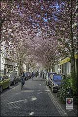 Bonn-Kirschbluete-3 (kurvenalbn) Tags: deutschland bonn pflanzen blumen nordrheinwestfalen frhling kirschbluete