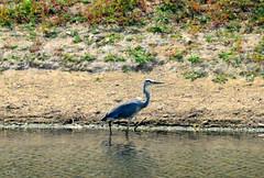 Heron (RobW_) Tags: africa heron wednesday march estate wine dam south jordan bakery western cape stellenbosch kloof 2015 mar2015 11mar2015