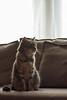 Sofa Cat (Fieldy.) Tags: cat kitten kitty miow meow chat neko gato mace katu kот mačka котка gat kočka kat kass kissa katze γάτα macska köttur gatto kaķis katė мачка qattus katt kot pisică кот кіт cath קאַץ կատու pişik বিড়াল 猫 貓 კატა બિલાડી बिल्ली miv ネコ ಬೆಕ್ಕು мысық ឆ្មា 고양이 പൂച്ച मांजर муур ကြောင် බළලා гурба பூனை పిల్లి แมว بلی mushuk conmèo fieldym fieldy matthewfield matthewfieldphotography