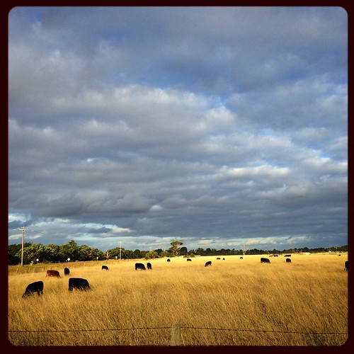 071/365 • there are cows in the paddocks along the dirt road to the boatyard, today under a mix of sunshine and raincloud • #071_2015 #cows #blindbight #clouds #onourwayhome