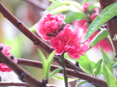 flowers in the rain (oneroadlucky) Tags: pink plant flower nature