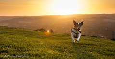 Nibbler in the dawn light - Streatley Hill (Mr Whites Paw Prints) Tags: dog rural sunrise landscape jackrussell nibbler streatleyhill