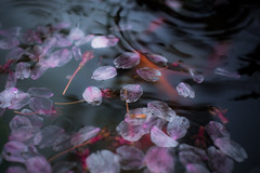 Floating (echinocactus) Tags: rain japan cherryblossom