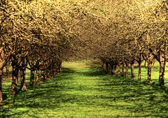 Avenue of Apple Trees (Habub3) Tags: tree apple canon germany deutschland wiese powershot grn apfelbaum g12 2015 remstal habub3