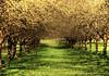 Avenue of Apple Trees (Habub3) Tags: tree apple canon germany deutschland wiese powershot grün apfelbaum g12 2015 remstal habub3