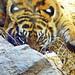 Eye of The Tiger!!! : アイ・オブ・ザ・タイガー