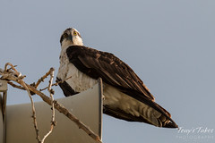 Watchful Osprey