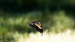 Limbo (trinstanprep) Tags: california lake bird sports america canon butterfly photography bay high raw zoom bokeh wildlife awesome birding parks insects sharp clear telephoto area shutter resolution manual adventures tamron swallowtail lenses autofocus cmos 70d 150600mm