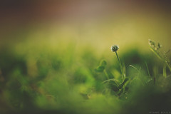 Sublime (Tammy Schild) Tags: light blur flower green nature closeup canon spring soft bokeh ground dreamy clover goldenhour 135l cloverflower
