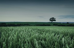 corn field at dusk, with lone tree (al wise) Tags: summer cornfield dusk yorkshire lonetree