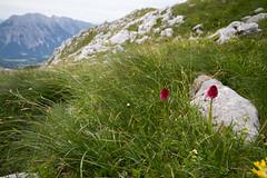 Nigritella paradise (smir_001 (on/off)) Tags: nigritellarubra gymnadeniarubra nigritella gymnadenia rubra widderi bicolour kohlrserl kohlrschen vanillaorchids redsprouts nigritellaminiata pink red orchids orchideen austrianorchids wildorchids orchidaceae theorchidfamily wildflowers tauplitz liezen tauplitzalm traweng rocky hiking ascend descend trailnr72 difficult strenuous nature outdoor alpine routes austria sterreich styria steiermark landscape scenery july summer austria2016 mountains canoneos7d