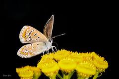 Gut wenn man so einen Saugrüssel hat! suction spout (Dieter Gora) Tags: suctionspout saugrüssel bläuling butterfly macro schmetterling tanacetum rainfarn nektar