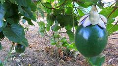 Passion fruit ( Graa Vargas ) Tags: passifloracaerulea passiflora flower graavargas2016allrightsreserved pasionfruit fruit graavargas 13202030816 fruta