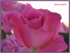 Toro (Zamora) 19 Rosa rosa (ferlomu) Tags: flor rosa toro zamora ferlomu