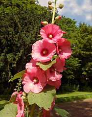 PUBLIC DOMAIN DEDICATION - Pixabay - digionbew 11. 04-07-16 Hollyhock in street LOW RES DSC04211 (MabelAmber️®***Pluto5339***Incognito) Tags: commonhollyhock flower plant blossom alcearosea petal pistil stem garden outdoors pink sunshine bright summer publicdomaindedication mabelamber pixabay publicdomaindedicationpixabaypexels