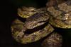 Boiga beddomei (6) (Chaitanya Shukla) Tags: amboli amboli201607 beddomescatsnake boigabeddomei colubridae macro maharashtra reptilesandamphibiansofindia sindhudurga snakesofindia typicalsnakes india in