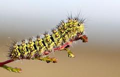 Imperial Caterpillar (Ger Bosma) Tags: hairy green spiky cool caterpillar rups larva raupe saturniapavonia saturniidae bristly kleinesnachtpfauenauge nachtpauwoog smallemperormoth saturniids petitpaondenuit kleinenachtpauwoog pequeopavn pawicagrabwka  img128329