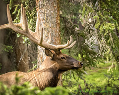 Velvet headgear! (browtine1) Tags: bull elk wapiti velvet rocky mountain national park