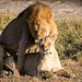 Mating lions in the Okavango Delta